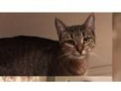 Adopt Bud a Gray, Blue or Silver Tabby American Shorthair / Mixed cat in