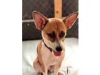 Adopt Ruby a Tan/Yellow/Fawn - with White Jack Russell Terrier / Basenji / Mixed