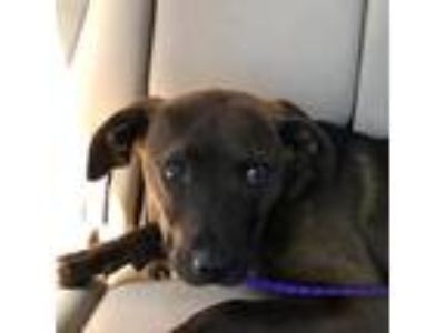 Adopt Elizabeth a Brown/Chocolate Whippet / Shepherd (Unknown Type) dog in