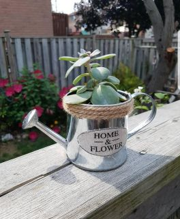 Watering can succulent