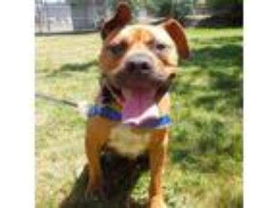 Adopt Midas a Brown/Chocolate American Pit Bull Terrier / Black Mouth Cur /
