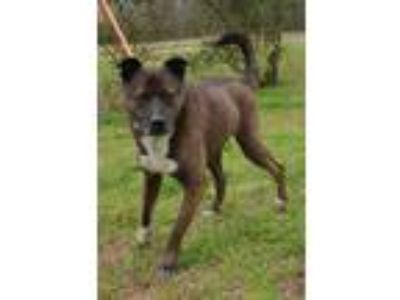 Adopt harley a Brindle - with White Boxer / German Shepherd Dog / Mixed dog in