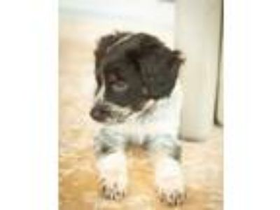 Adopt Marvin Rico a White - with Black Labrador Retriever / Corgi / Mixed dog in