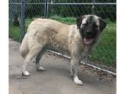 Adopt Callie a White Anatolian Shepherd / Great Pyrenees / Mixed dog in