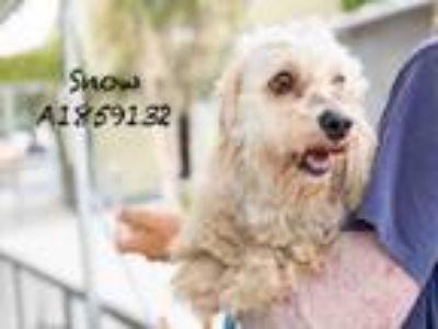 Adopt SNOW a Mixed Breed, Cocker Spaniel