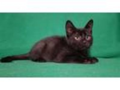 Adopt Midnight a Domestic Shorthair / Mixed cat in Norman, OK (25874844)