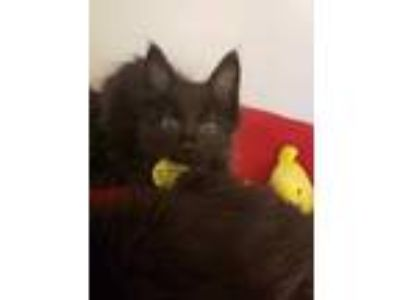 Adopt Jeffree a All Black Domestic Mediumhair / Domestic Shorthair / Mixed cat