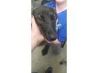 Adopt Caroline a Black Shepherd (Unknown Type) / Labrador Retriever / Mixed dog