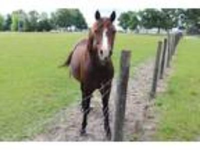 Adopt #755 a Bay Morgan / Mixed horse in Ocala, FL (23953177)