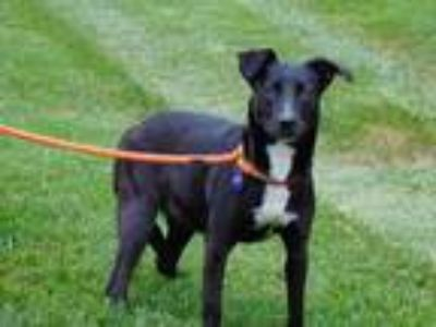 Adopt SAMMIE a Black - with White Labrador Retriever / Mixed dog in Charlotte