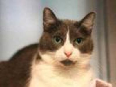 Adopt Nicole a Gray or Blue Domestic Shorthair / Domestic Shorthair / Mixed cat