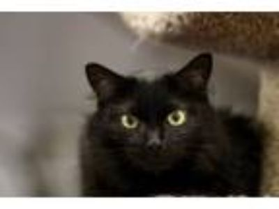 Adopt Pandora a Domestic Long Hair