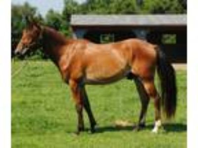 Adopt ER Messenger a Bay Standardbred horse in Lovettsville, VA (19009583)