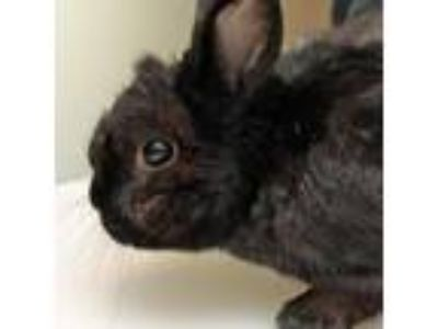 Adopt Joe a Other/Unknown rabbit in Middletown, RI (25531911)