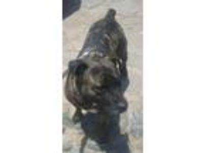 Adopt Princess a Brindle Shar Pei / Mixed dog in San Ysidro, CA (22431279)
