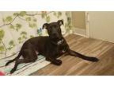 Adopt Midna a Black - with White Labrador Retriever / Pointer dog in Everett