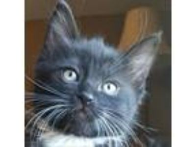 Adopt Jig a All Black Domestic Shorthair cat in Meridian, ID (25348270)