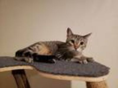 Adopt Bing Clawsby a Tabby
