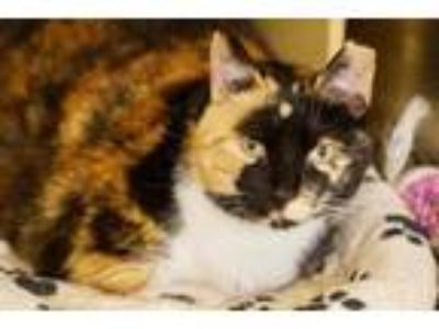 Adopt Jenny a Domestic Short Hair, Calico