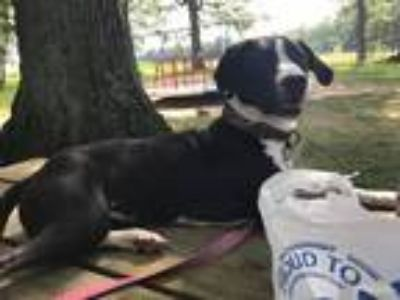 Adopt Margie a Black - with White Labrador Retriever / American Pit Bull Terrier