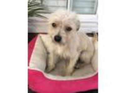 Adopt Milo a Tan/Yellow/Fawn - with White Cairn Terrier / Mixed dog in Costa