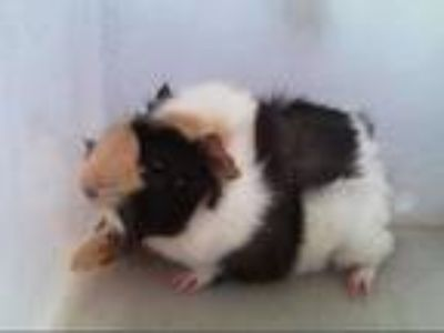 Adopt STRAY a Black Guinea Pig / Mixed small animal in Dallas, TX (25898821)