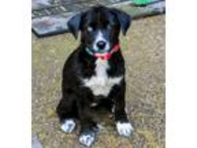 Adopt PUPPY ARYA STARK a Black - with White Husky / Mixed dog in Salem