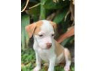 Adopt Ginger (Puppy) a Boxer, Pit Bull Terrier