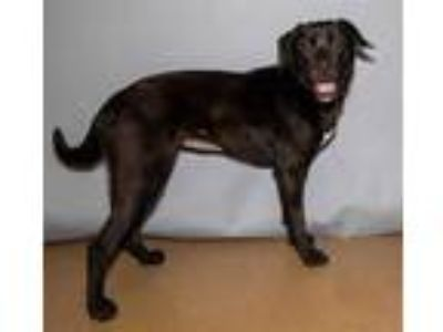 Adopt OREILLY a Black - with White Labrador Retriever / Mixed dog in St.