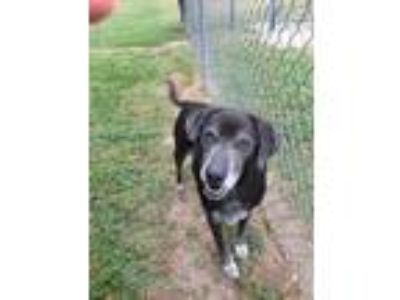 Adopt Black Jack a Labrador Retriever