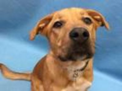 Adopt Sally a Red/Golden/Orange/Chestnut Labrador Retriever / Mixed dog in St.