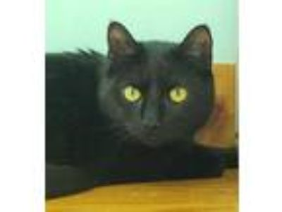 Adopt Harlee Davidson a All Black Domestic Shorthair / Mixed cat in Brimfield