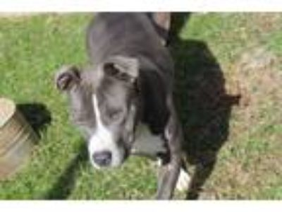 Adopt Sheba a Pit Bull Terrier / Mixed dog in Albany, GA (23815301)