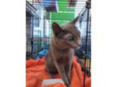 Adopt Alexandra a Gray or Blue Domestic Shorthair cat in Smyrna, GA (25661499)