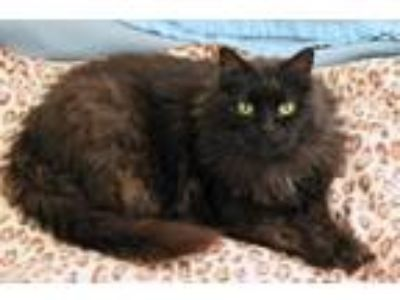 Adopt Sheba a Maine Coon, Domestic Short Hair
