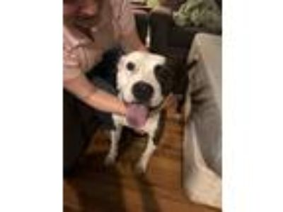 Adopt Salina a Brindle - with White American Pit Bull Terrier / Mixed dog in