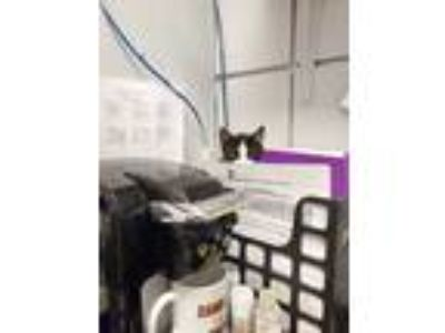 Adopt Wasabi Pea a All Black Domestic Shorthair / Domestic Shorthair / Mixed cat