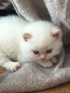 Beautiful Persian Cats