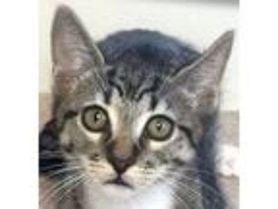 Adopt Chex a Gray, Blue or Silver Tabby Domestic Shorthair / Mixed (short coat)