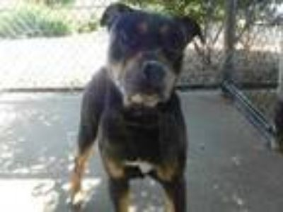 Adopt Roxy a Black Rottweiler / Mixed dog in Everett, WA (25732753)