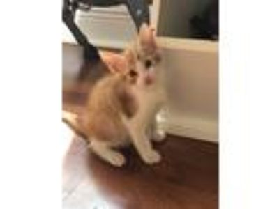 Adopt Haba ero a Orange or Red Tabby American Shorthair (short coat) cat in