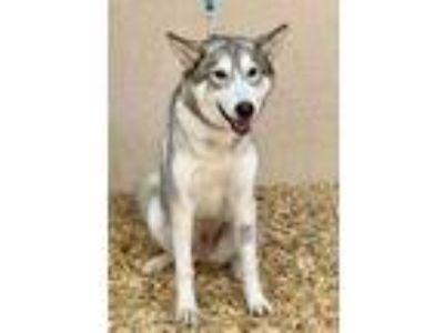 Adopt Snowball a White Husky / Mixed dog in Palm Springs, CA (25938111)