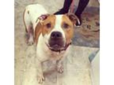 Adopt Zippo a Pit Bull Terrier, Mixed Breed