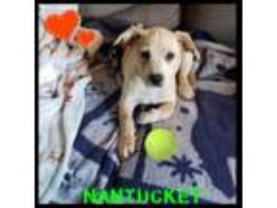 Adopt Nantucket a Yellow Labrador Retriever