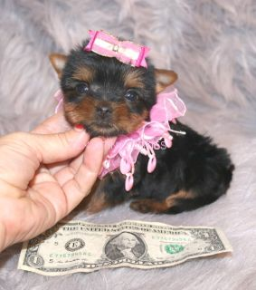 Yorkshire Terrier PUPPY FOR SALE ADN-52499 - BABY DOLL FACE TEACUP FEMALE YORKIE