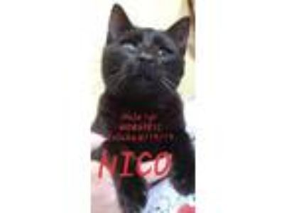 Adopt Nico a Domestic Short Hair
