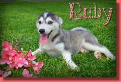 Ruby Female Pomsky
