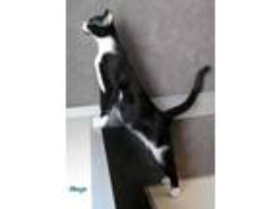 Adopt Mags a All Black Domestic Shorthair / Domestic Shorthair / Mixed cat in