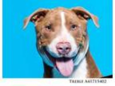 Adopt TREBLE a Pit Bull Terrier, Mixed Breed