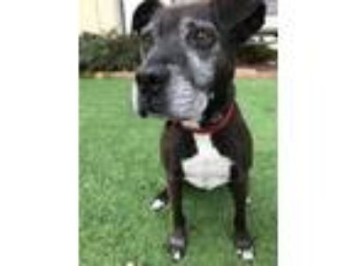 Adopt Tally a Pit Bull Terrier, Labrador Retriever